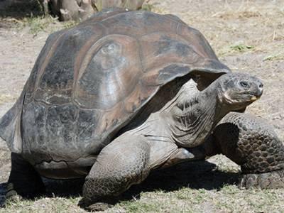 Tartaruga Avó